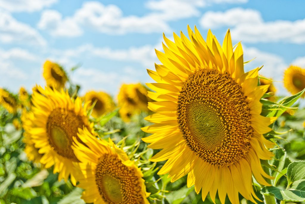 A field of sunflowers lifts their heads to face the sun. The future is bright.